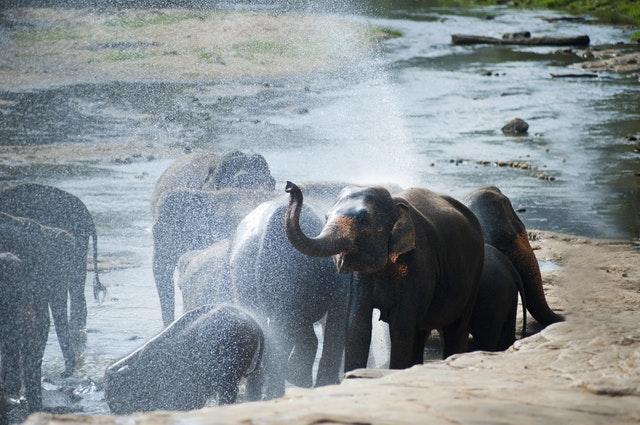 Qui veut voir l'éléphant ?